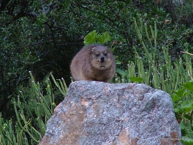 Dassie / Cape Hyrax