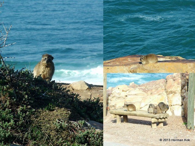 Cape Rock Hyrax