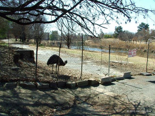 Emu behind fence