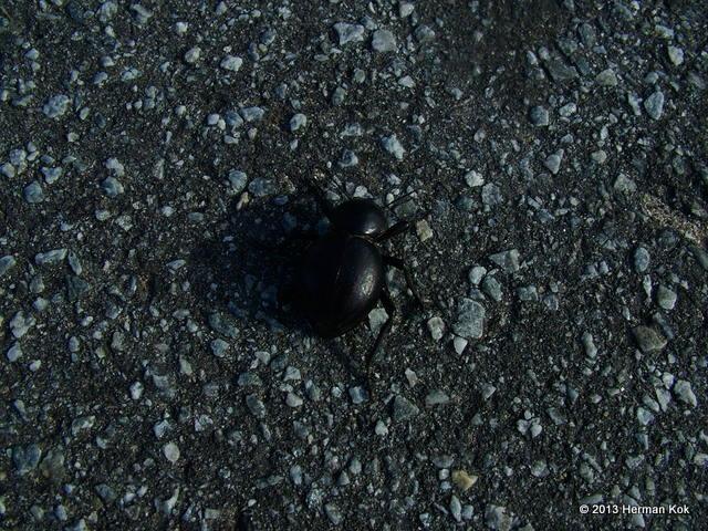 Toktokkie or darkling beetle