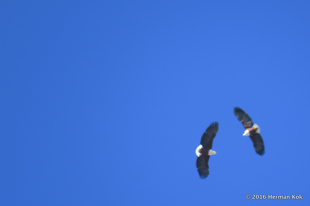 Pair of fish eagles in blue sky