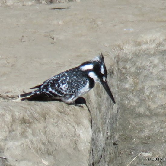A pied kingfisher hunting for his next meal in the shallow water.