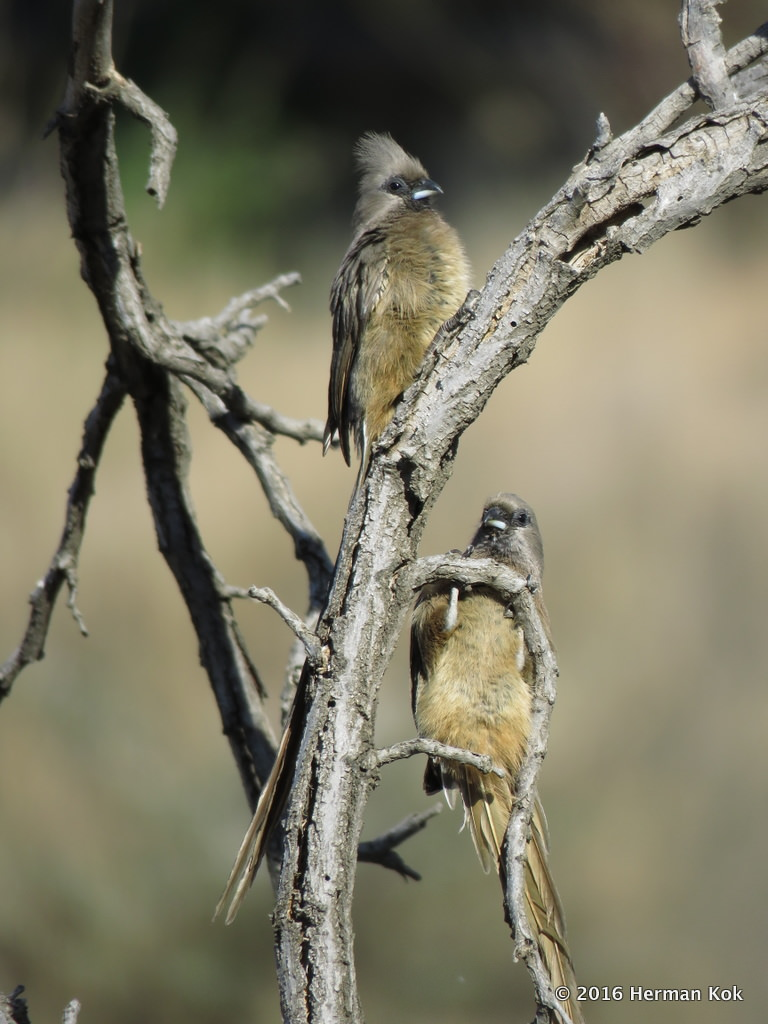 Two Mousebirds