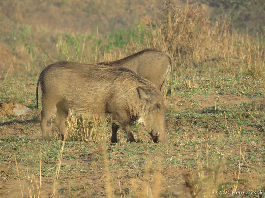 Warthogs foraging