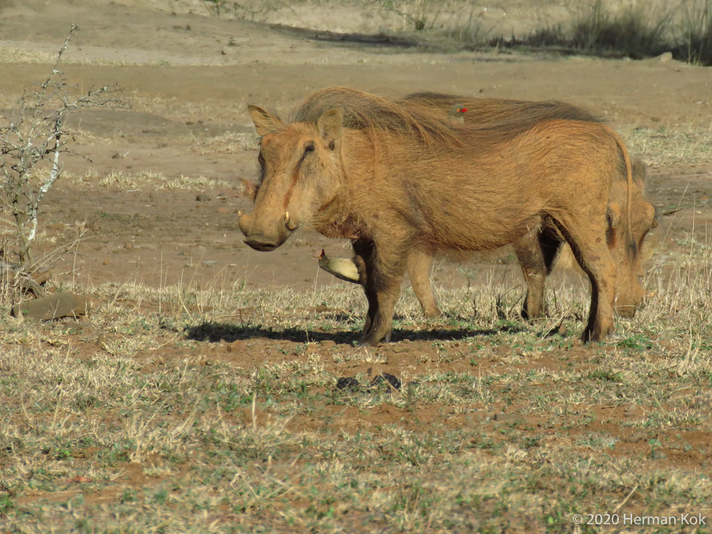 warthogs and red-billed oxpecker