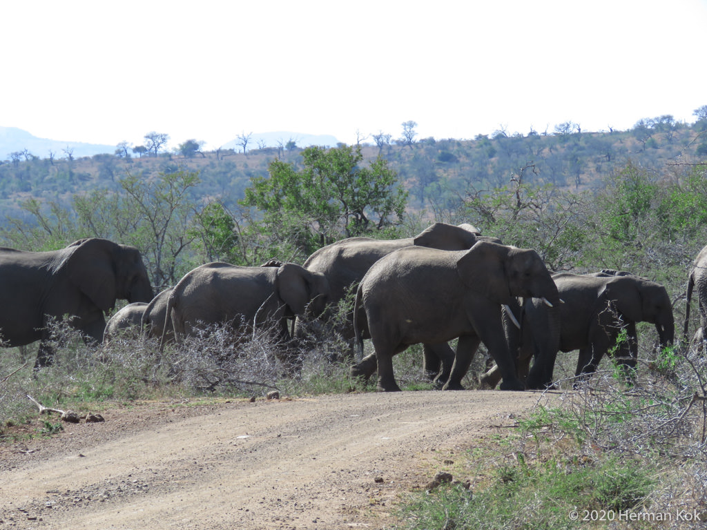 Herd of elephants crossing the road