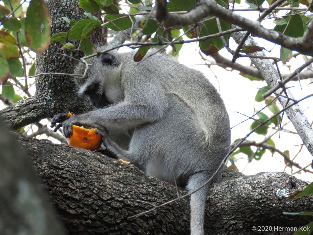 Vervet monkey eating a naartjie