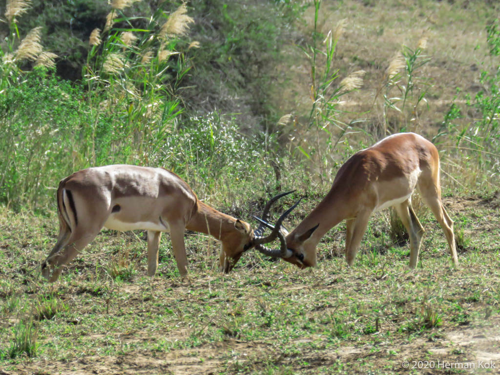 Two impala rams locking horns