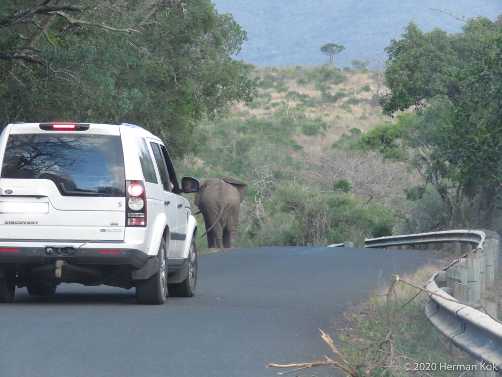 elephant walking in the road